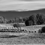 Straw Bales on a Farm